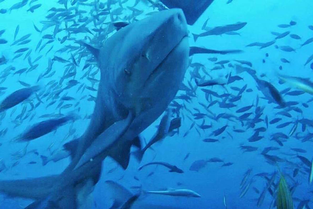 Delta to ban shark fin products – Peace Arch News